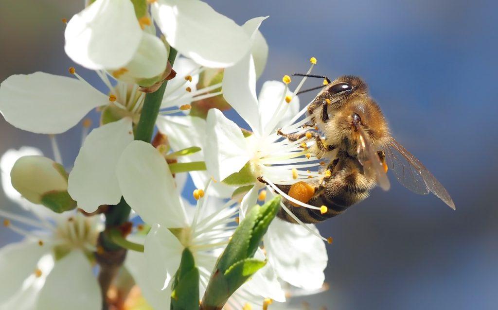 bee on cherry blossom 1403010_1280